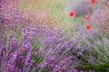 Lavender floral background sunlit Royalty Free Stock Photo