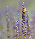 Lavender flower with bee a honey extracts nectar from a purple in fields on a farm located in san diego county california Stock Photography
