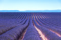 Lavender flower blooming fields endless rows. Valensole provence Stock Photo