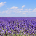 Lavender flower blooming. Provence, France Royalty Free Stock Photos