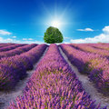 A Lavender flower blooming scented fields Royalty Free Stock Photo