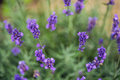 Lavender flower closeup, Purple flowers of lavender. aromatic herbal plantation Royalty Free Stock Photo