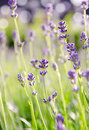 Lavender flower in the field beautiful background Royalty Free Stock Images