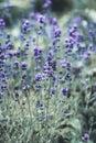 Lavender flower field, Blooming Violet fragrant lavender flowers. Growing Lavender swaying on wind over sunset sky, harvest, Royalty Free Stock Photo