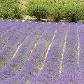 Lavender flower field, with free, Provence. Royalty Free Stock Photo