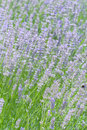 Lavender flower field in summer Stock Photos