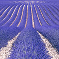 Lavender flower fields as background. Provence Stock Image