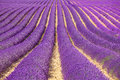 Lavender flower fields pattern. Provence, France Royalty Free Stock Photos