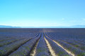 Lavender flower fields rows. Valensole provence Stock Images