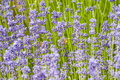Lavender flower flowers in the field Stock Photos