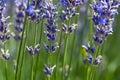 Lavender flower (Lavandula x intermedia) Royalty Free Stock Photo