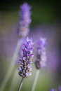 Lavender flower with macro view Royalty Free Stock Photos