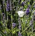 A lavender flower stem with small white butterfly feeding in an english garden Royalty Free Stock Photo