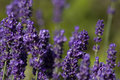 Lavender in flower in summer garden Stock Images
