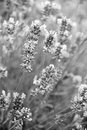 Lavender flowers as background. In black and white toned Royalty Free Stock Photo