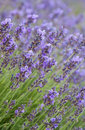 Lavender flowers is a beautiful aroma flower in herbal medicine on the field blossoms in summer agricultural Royalty Free Stock Photo