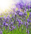 Lavender flowers beautiful lavenders in a field Stock Photos