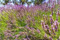 Lavender flowers in bloom close up Royalty Free Stock Photo