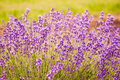 Lavender flowers blooming in field lawrence kansas usa Royalty Free Stock Photos