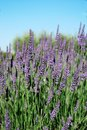 Lavender flowers blooming in a field in summer provence france Royalty Free Stock Photography