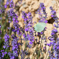 Lavender flowers with butterfly in France Royalty Free Stock Photo