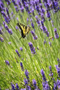 Lavender flowers closeup with yellow swallowtail butterfly Royalty Free Stock Photo