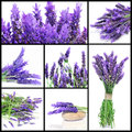 Lavender flowers collage a with different picture of Stock Images