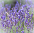 Lavender flowers field in provence violet blossoms in summer day Stock Image