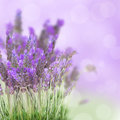Lavender flowers field with soft purple background Stock Photos