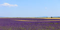 Lavender flowers field, wheat lines. Provence Stock Image