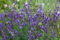 Lavender flowers in garden close up Royalty Free Stock Images