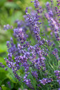 Lavender flowers in garden close up Stock Photography
