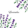 Lavender flowers, leaves hand drawn colorful doodle vector, decorative frame on white, herbal vintage graphic