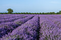 Lavender flowers plantation Royalty Free Stock Photo