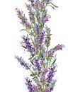 Lavender flowers repeating frame. Vintage watercolor border