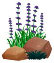 Lavender flowers and rocks on white background Royalty Free Stock Photo