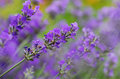 Lavender flowers with shallow depth of field Royalty Free Stock Photos