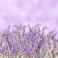 Lavender flowers on white field isolated background Royalty Free Stock Image