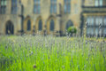 Lavender in formal the formal garden of an historic house Royalty Free Stock Photo