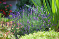 Lavender in the frontage garden home with freshly flowering flower Royalty Free Stock Image