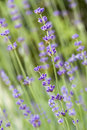 Lavender in the garden Royalty Free Stock Image