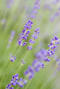 Lavender in the garden Stock Image