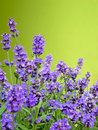 Lavender with green background and copy space Stock Photography