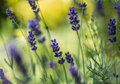 In the Lavender Grove Royalty Free Stock Photo