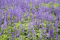 Lavender growing in garden Royalty Free Stock Photography