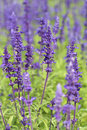 Lavender growing in garden beautiful Royalty Free Stock Image