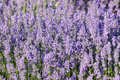 Lavender growing in summer garden closeup Royalty Free Stock Images