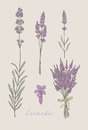 Lavender hand drawn set Royalty Free Stock Photo