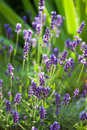 Lavender herb blooming closeup of flowers in the frontage garden Royalty Free Stock Image