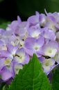 Lavender hydrangea closeup of a blossom this variety is called a mop head and lace cap Stock Images